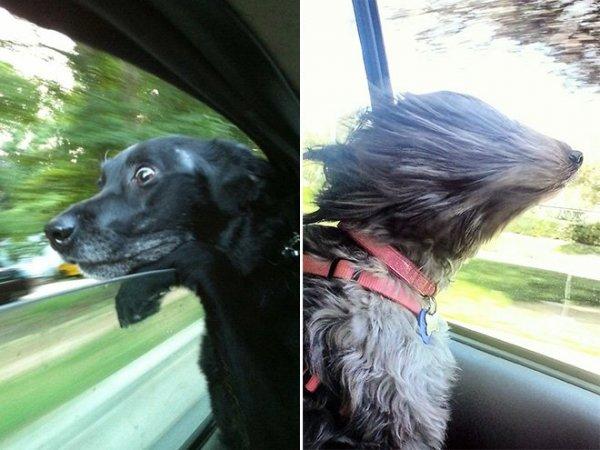 Собаки, обожающие ездить в машине (19 фото)