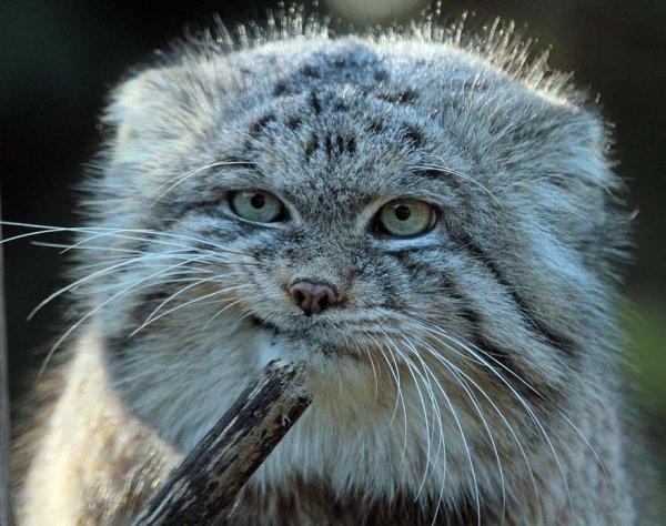 Манулы, или палласовы коты (16 фото)