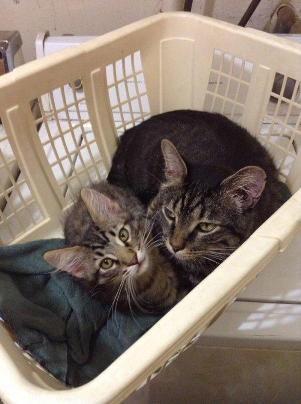 Прелестные кошки со своими очаровательными мини-копиями (38 фото)