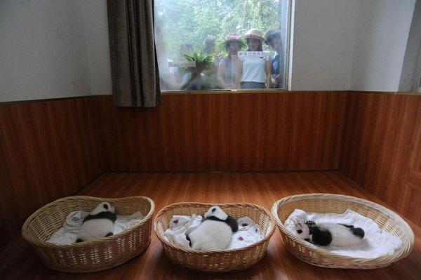 Детёнышей большой панды, родившиеся в этом году в Центре по разведению панд Бифэнся (16 фото)