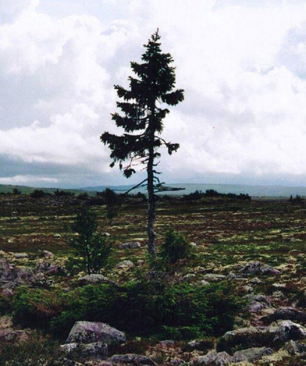 В Швеции обнаружили древнейшее дерево на планете (3 фото)