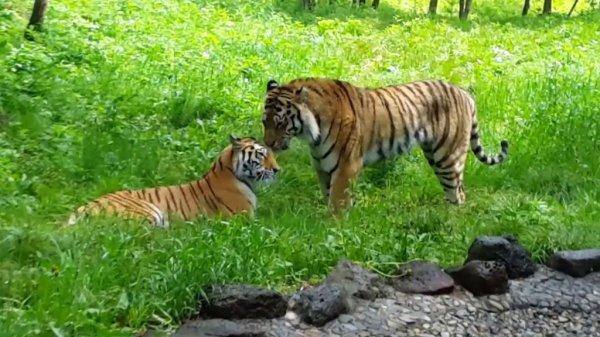 Документалисты сняли уникальное кино об амурском тигре