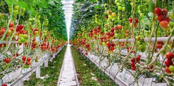 На территории гидропонного комплекса выращивают больше 54 тонн томатов за неделю