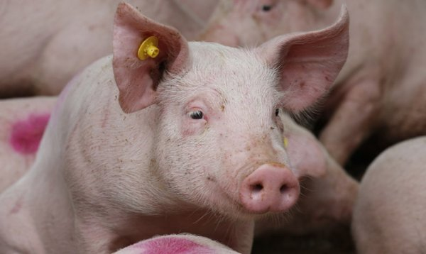 Искусственный интеллект поможет аграриям наблюдать за свиньями