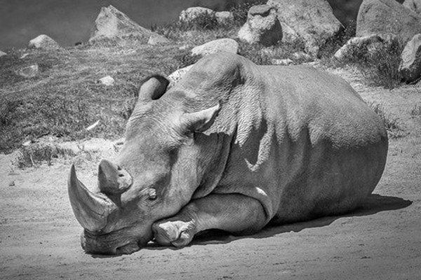 Умер последние самец северного белого носорога