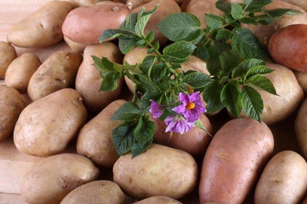 Англичане выращивают картофель без грунта