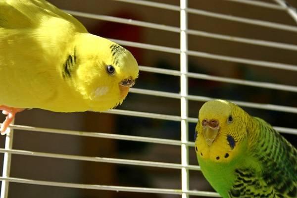 Стоит ли заводить попугаев?