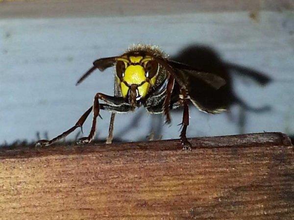 Пчёлы строят гнёзда из отходов пластика